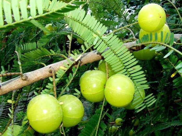 Pema që shkatërron kancerin, pastron dhe përtërinë organizmin