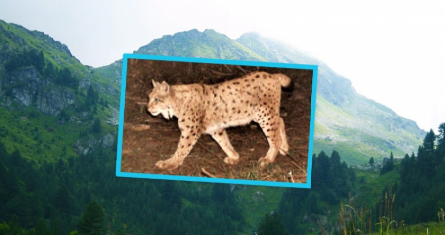 Kjo specie e rrallë gjendet në Kosovë: Brenda natës mund të përshkojë deri 45 km